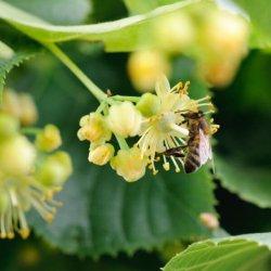 pszczoła zbierająca nektar z kwiatu lipy