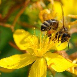 pszczoła zbierająca pyłek z kwiatu dziurawca