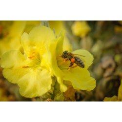 pszczoła zbierająca pyłek z kwiatu dziewanny