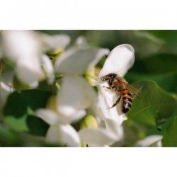 pszczoła zbierająca nektar z kwiatu robinii akacjowej